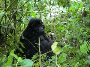 An Eastern (or Mountain) Gorilla Enjoying the Leaves in Southern Uganda
