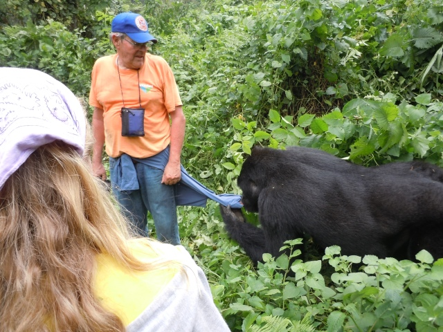 Male Mountain Gorilla Chewing on My Shirt in Southern Uganda