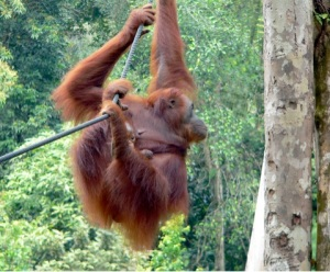 Young Orangutan at a Rehabilitation Center in Northern Borneo