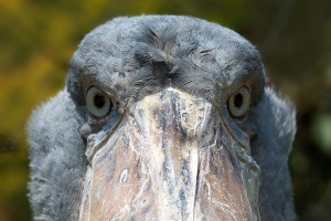 The Anthropomorphic Stare of the Shoebill, Africa's Most Exotic Bird