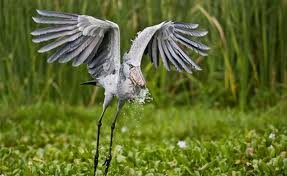 A Shoebill Showing Off It's Exordinary Wing Span