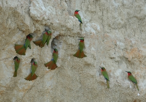 Bee-eaters Along the Sandy Cliffs of the Nile River