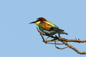 The Exotic Coloration on the European (or Golden) Bee-eater