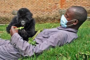 Park Ranger Working with Young Gorilla at the Senkwekwe Orphan Mountain Gorilla Center