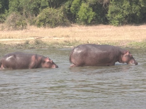 Hippos Lazing in the Nile River