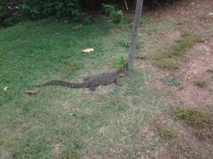 A 6'-Long Monitor Lizard on Ngamba Island