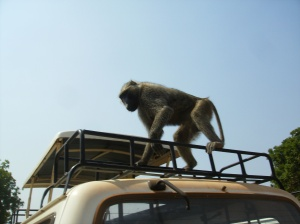 Baboon Making an Unsuccessful Assault on Our Food Supply