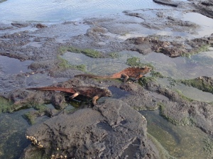Marine Iguanas Catching Some Rays