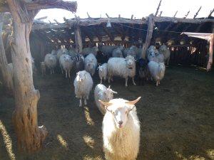 Annabelle's Goat