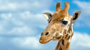 The Horns on a Giraffe