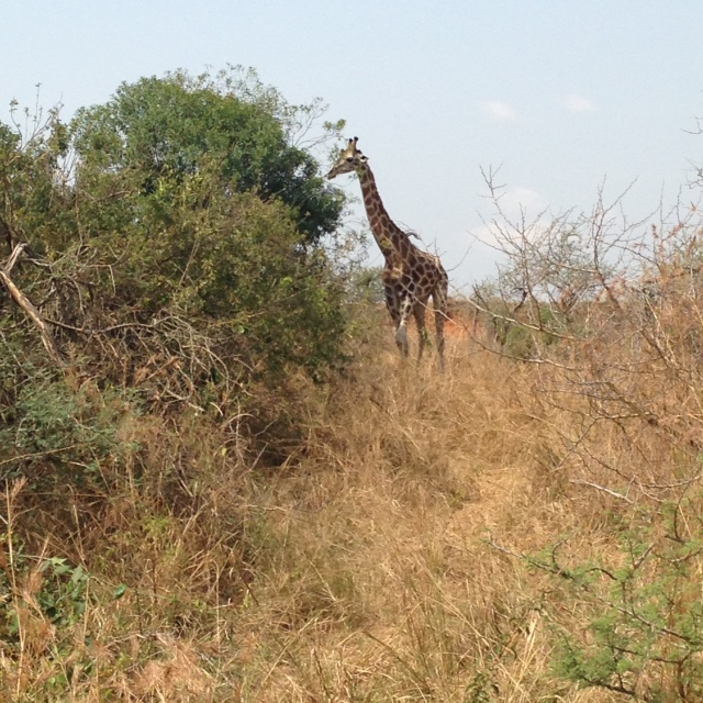 Giraffe Foraging for Leaves in Murchison Falls NP