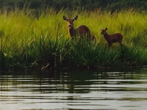 Water Bucks Eyeing Us from the Shores of the Albert Nile