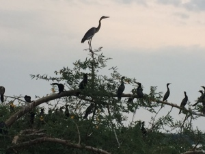 Heron and Cormorants on an Island in the Albert Nile