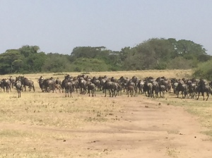 Herd of Wildebeests on the Serengeti Plain