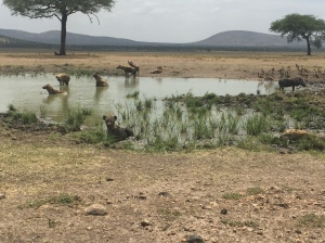Hyenas Enjoying a Cooling Soak on the Serengeti