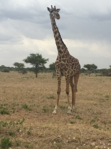 Curious Giraffe Standing by the Road