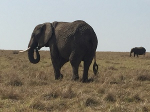 Elephant Roaming the Masai Mara Wildlife Preserve